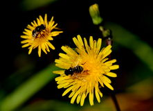 Couple. Two flays siting  on Dandelions Stock Photography