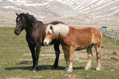 Couple of two horses Stock Photo