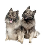 Couple of two Keeshond (6 and 2 years old) Stock Photos