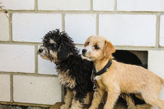 Couple. Two little doggies sit near a kennel and interestedly scrutinize in distance Stock Photo