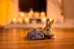 Couple of two lovely bunnies on a wooden floor of a cozy room stock photos