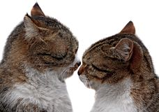 Couple of two loving cats are so close each other. On isolated white background Stock Image