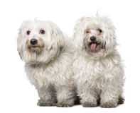 Couple of two maltese dog (4 years old). Couple of  two maltese dog (4 years old) in front of A white background Stock Image