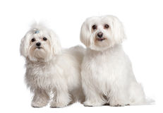 Couple of two maltese dog. In front of A white background Royalty Free Stock Image