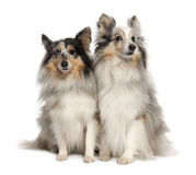 Couple of two shelties Stock Images