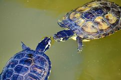 Turtles in Love in a Water. Couple of two turtles in love in the water royalty free stock images