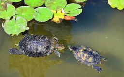 Turtles in Love in a Water. Couple of two turtles in love in the water stock photography
