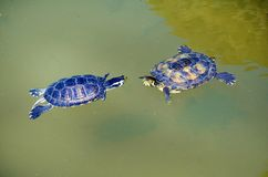 Turtles in Love in a Water. Couple of two turtles in love in the water stock photos