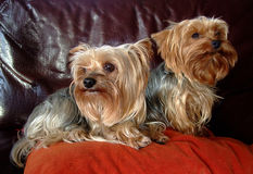 Couple of two Yorkshire dogs royalty free stock image