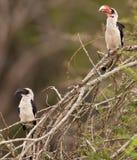 Couple of Van der Decken's Hornbill. A female and a male Von der Decken's Hornbill (Tockus deckeni) at Lake Nakuru National Park Stock Photo