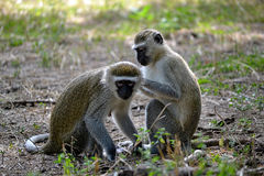 Vervet monkeys grooming Stock Photo