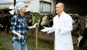 Couple of vets working with milky cows Stock Image