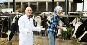 Couple of vets working with milky cows Royalty Free Stock Photography