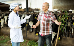 Couple of vets working with milky cows Royalty Free Stock Photo