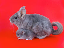 Couple Violet ebonite chinchilla . Stock Photos