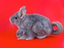 Couple Violet ebonite chinchilla . Violet ebonite chinchilla  and baby on white background Stock Photos