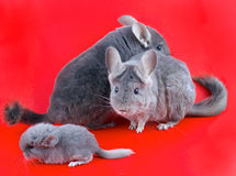 Couple Violet ebonite chinchilla . Stock Images