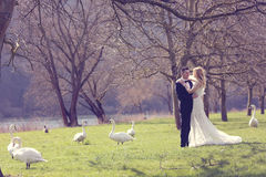 Couple walking in a park surrounded by swans Royalty Free Stock Image