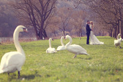 Couple walking in a park surrounded by swans Royalty Free Stock Photos