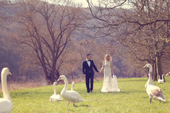 Couple walking in a park surrounded by swans Stock Photos