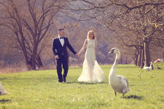 Couple walking in a park surrounded by swans Stock Photography