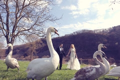 Couple walking in a park surrounded by swans Stock Images