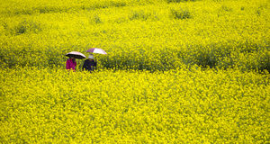 A couple walking in yellow field rapeseed in Luoping Royalty Free Stock Images