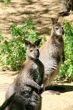 A couple of wallabies (kangaroos) Stock Image
