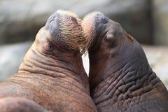 Couple of walruses Stock Photos
