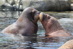 Couple of walruses Stock Image