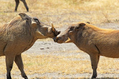 Couple of warthogs loving Stock Photos