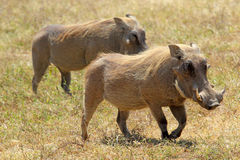 Couple of warthogs walking Stock Photos
