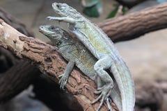Couple of Weber sailfin lizard Stock Photo