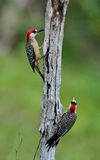 Couple of West Indian Woodpecker (Melanerpes superciliaris) Stock Images