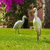 Couple of Western Cattle Egret  Bubulcus ibis Stock Images