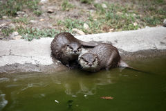 Couple of wet otters. After swimming near the water Stock Photography