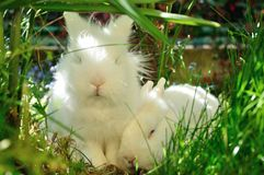 Couple white bunnies. Tender couple of small white bunnies Royalty Free Stock Images
