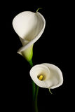 A couple of white Calla lily on a black background Royalty Free Stock Image