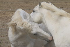 Couple of white Camargue horses in France Stock Photo
