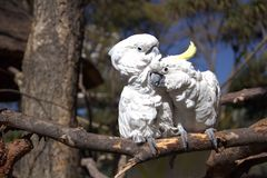 Couple of white cockatoo parrots. Couple of cute white cockatoo parrots in love stock photos