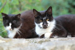 Couple of white-collared cats Stock Image