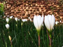 Couple white crocus flowers blooming in the garden in rainy season royalty free stock photo