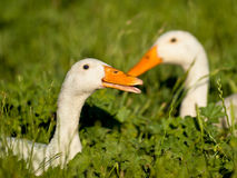 A couple of white duck Royalty Free Stock Images