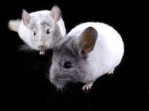 Couple of white ebonite chinchilla on black Stock Photos
