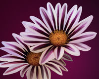 A couple of white flowers with purple going up the petals on a purple background. White and purple flowers with a yellow center on a purple background Stock Photos