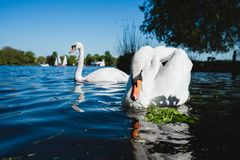 Couple of white grace swan on Alster lake on a sunny day in Hamburg.  Royalty Free Stock Image