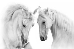 White horses with long mane royalty free stock image