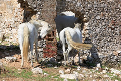 A couple of white horses in the Andalusian mounts Royalty Free Stock Image