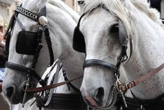 Couple of white horses with blinders. royalty free stock photos