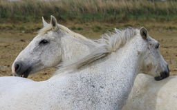 Couple of white horses in French Camargue Stock Photo